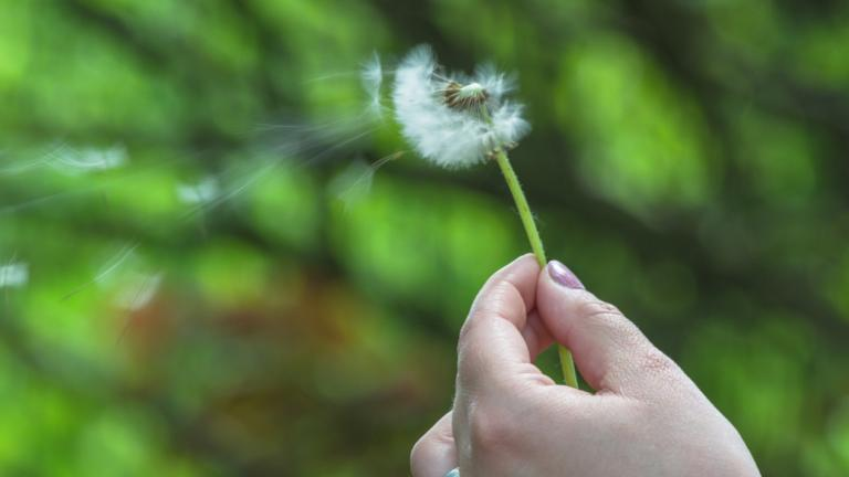 A picture of a dandelion blowing in the wind