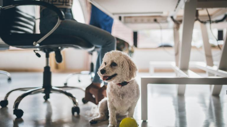 Dog in the office