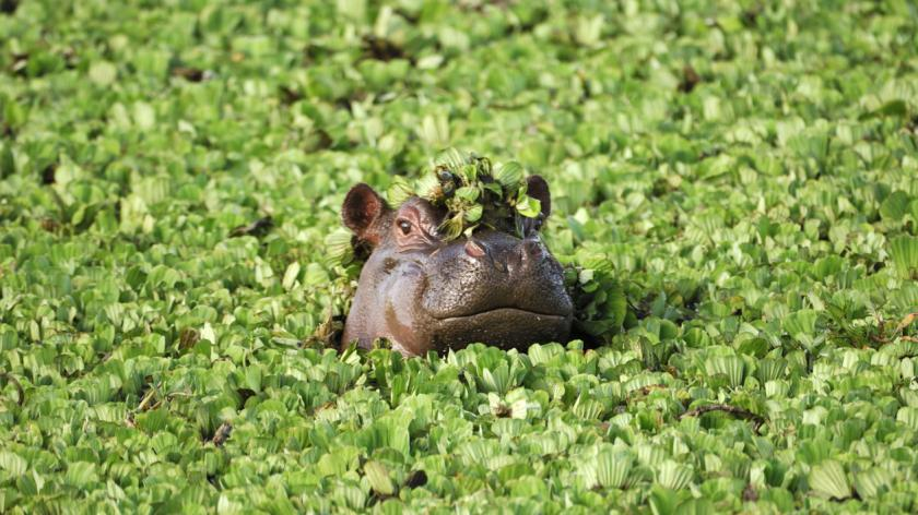 Wild African Hippo with Head Above Floating Water Lettuce