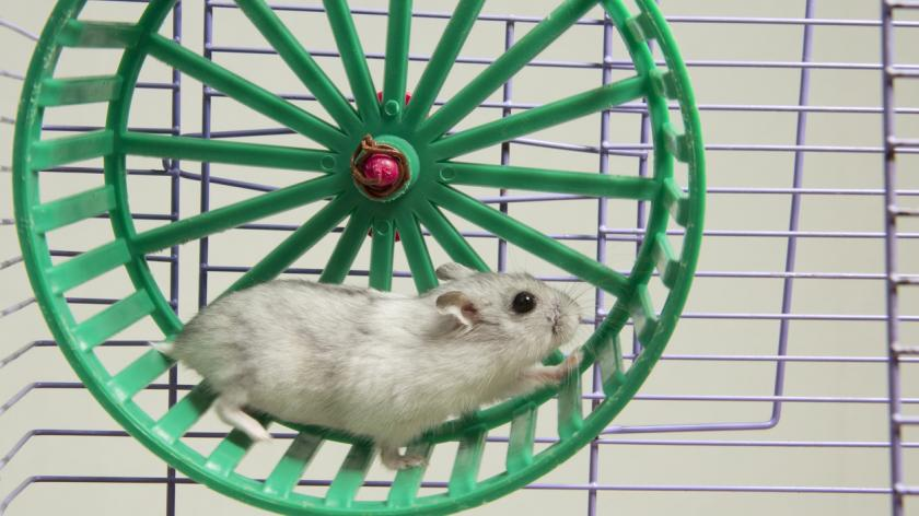 A hamster running in a wheel.