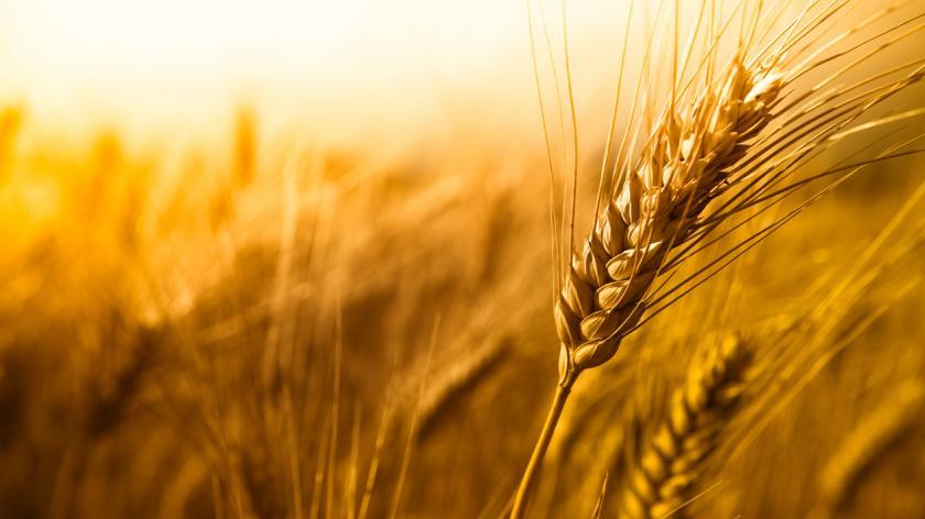 wheat field symbolising listening