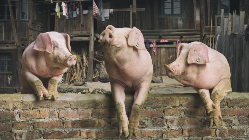 Pigs chatting